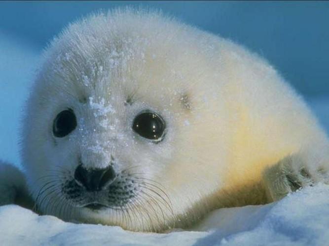 Тюленья война Норвегия-СССР. Ярость гостеприимства.